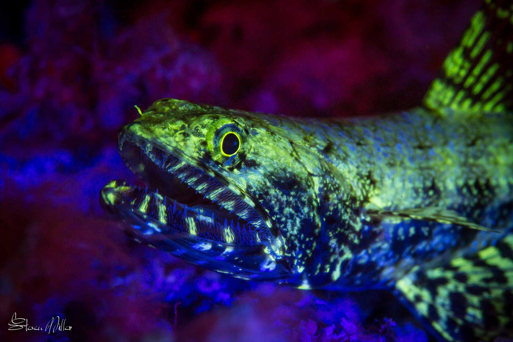 Lizardfish Underwater Fluorescence Photography by Steve Miller Ikelite Housing
