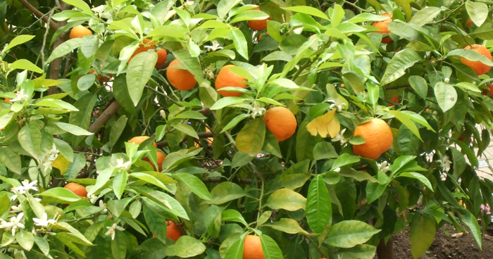 bitter orange plant where synephrine is extracted from