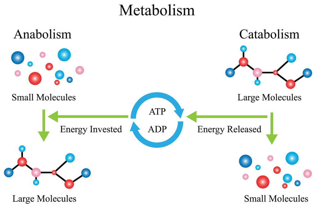 Metabolism explained