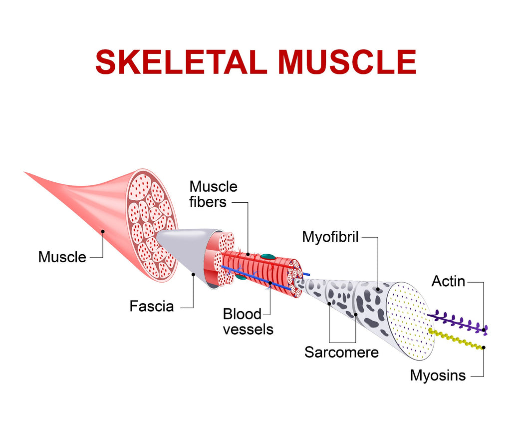 How does protein build muscle