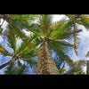 Postcards - Coconut Palms, by The Kauai Store , Postcards - The Kauai Store, The Kauai Store  - 1