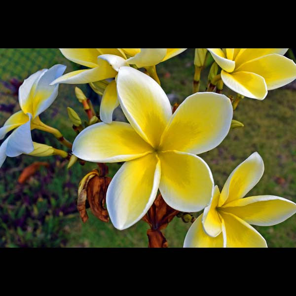 Postcards - Plumeria Blossoms, by The Kauai Store , Postcards - The Kauai Store, The Kauai Store  - 1