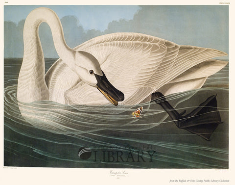 Audubon's Birds: Trumpeter Swan - ONLY ONE LEFT!