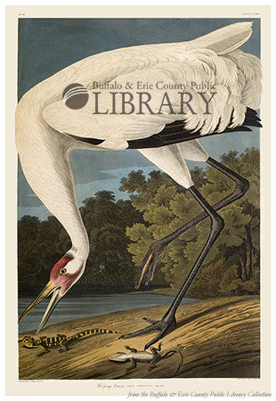 Audubon's Birds: Hooping Crane