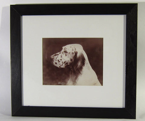 Photograph of an English Setter, George Francis Schreiber & Sons Studio, Philadelphia, signed and dated 1908