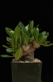 Pachypodium brevicaule (graft)