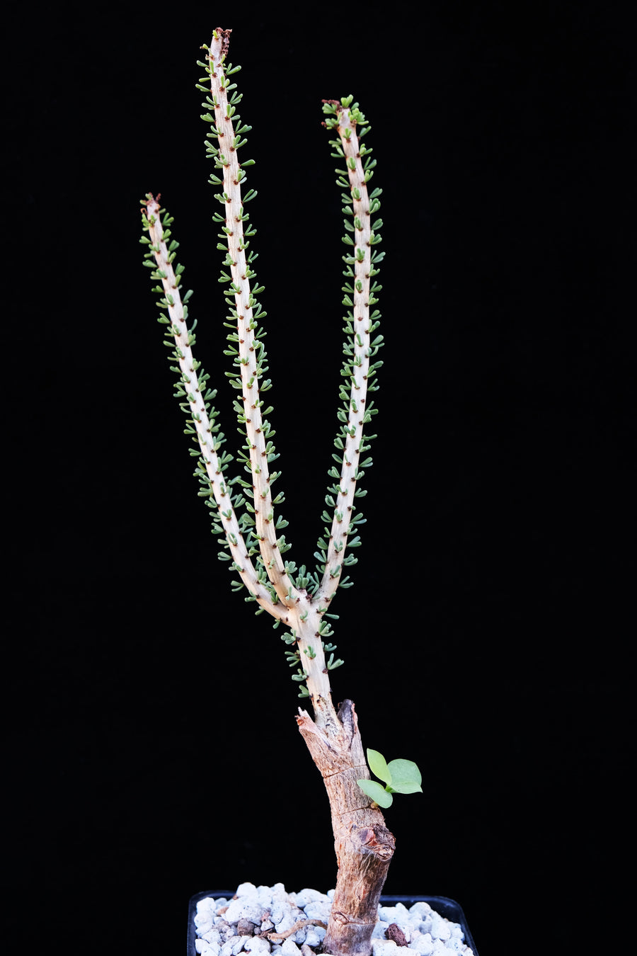 Ceraria namaquensis (graft)