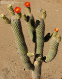 Austrocylindropuntia pachypus