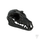 Bronze Flying Fox Bat Skull