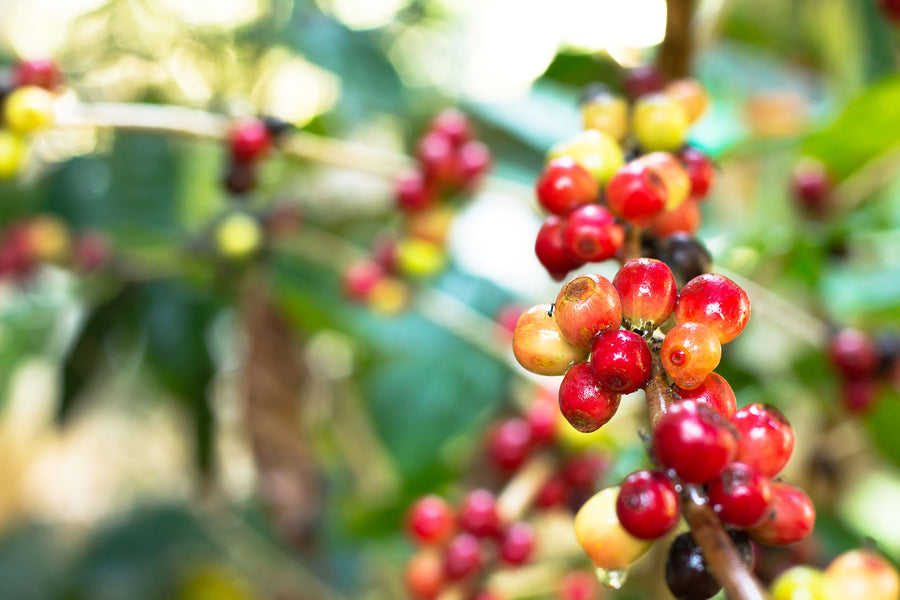 What Is Coffee Processing?