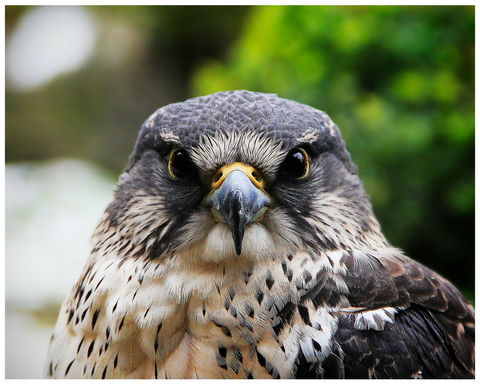Birds of Prey Encounter   August 5, 2017  (12:00PM - 3:00PM)