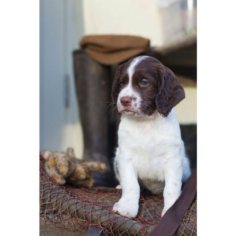 Springer Spaniel Puppy Greeting Card