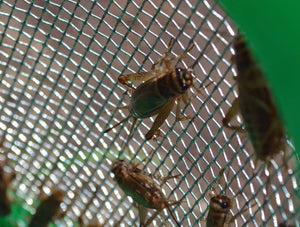 Caring for Live Crickets