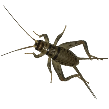 Banded Crickets