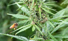 Symbiosis of Hemp and Bees