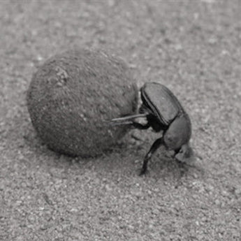 the loneliness of the hard-working dung beetle