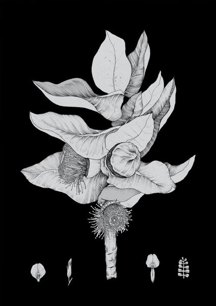 Macrocarpa (Black & White) A3 print by Edith Rewa