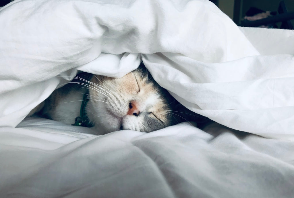 Cat sleeping under a blanket