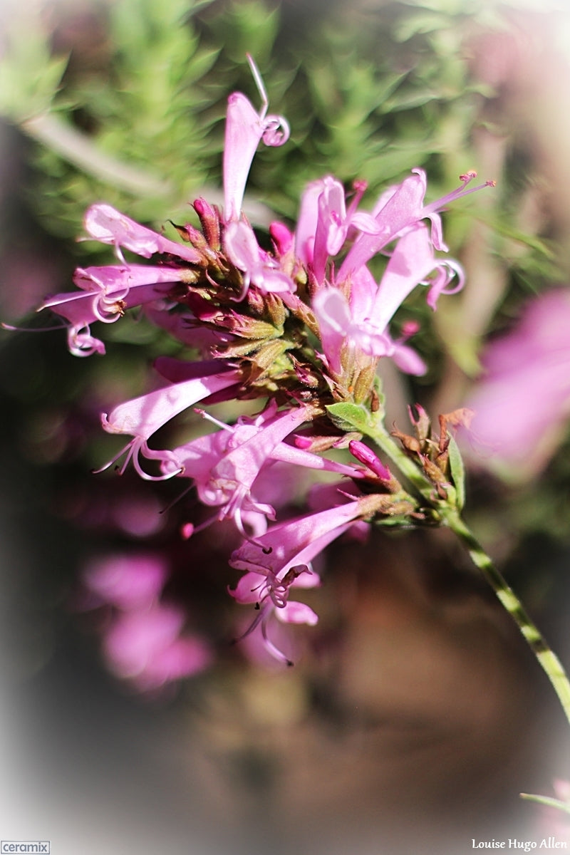 "Syncolostemon Densiflorus ""Pink plume"" available from Mathijs Brak of Zuiderland Tree Nursery at the Glen Fresh Market in Midrand South Africa"