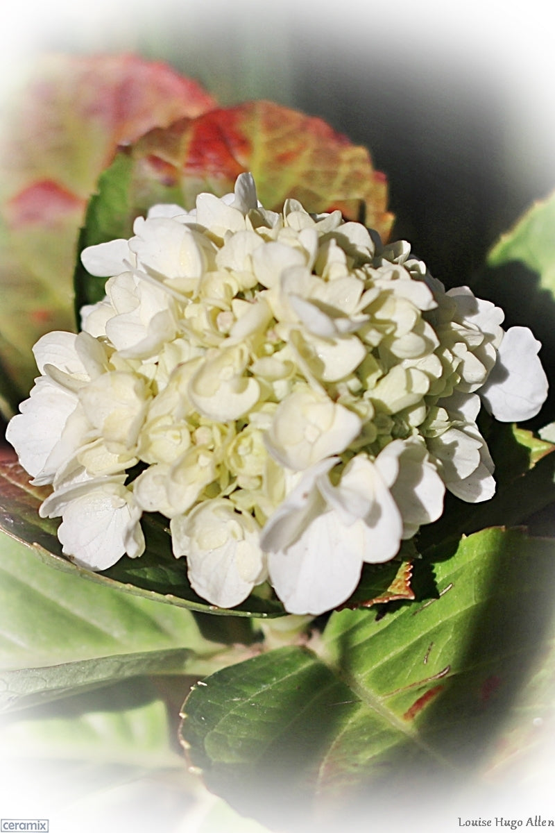 White Hydrangea or Christmas Rose from Zuiderland Tree Nursery