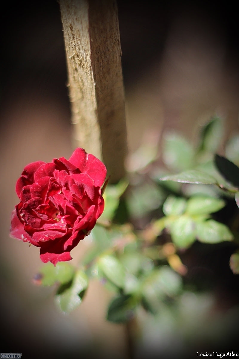 "Rose ""Red Cascade"" from Mathijs Brak of Zuiderland Tree Nursery"