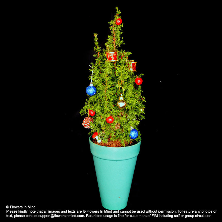 Real Mini Christmas Tree (XMAS37) - Flowers-In-Mind