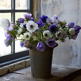 Lilac Galilee <br>Anemones