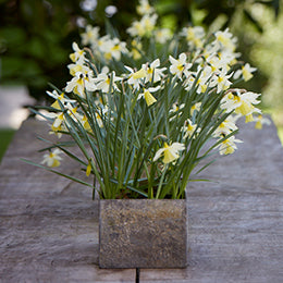 Narcissus<br> 'Silver Chimes'