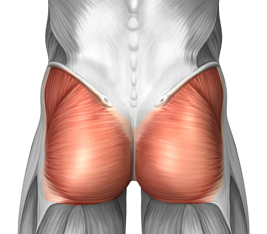 a pictute showing the location of the glute muscles