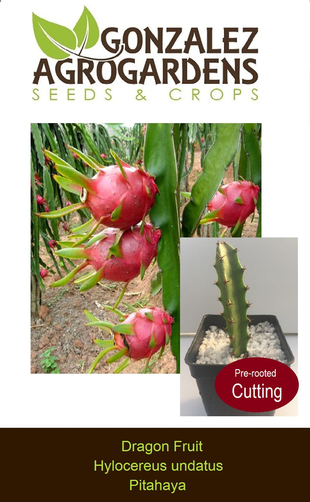 Dragon Fruit Hilocereus undatus Pitahaya Cutting