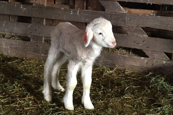 Baby lamb standing in barn stall