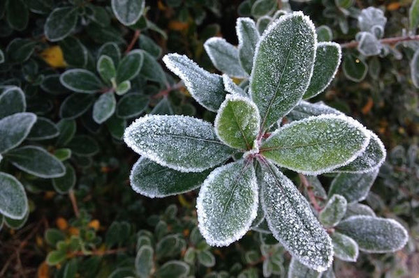 Rhododendron leaf frozen in frost