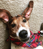 Pet Bandana / Royal Stewart Tartan
