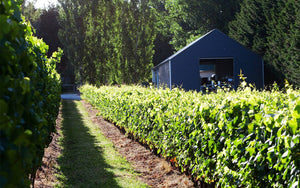 a row of grape vines in Bass and Flinders Distillery's vineyard