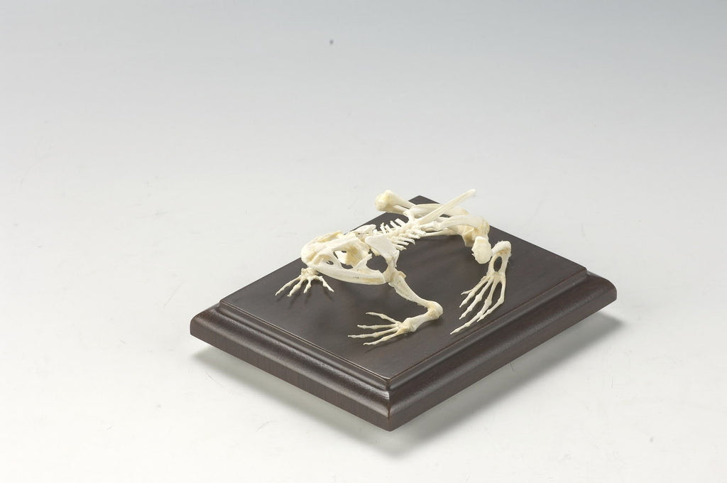 Mounted Frog Skeleton