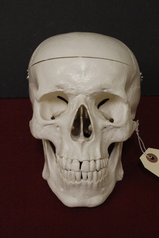 Harvey the 1st Quality Medical Skull