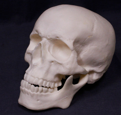 Prop Skeletons, Skull Replicas & Bones for Halloween