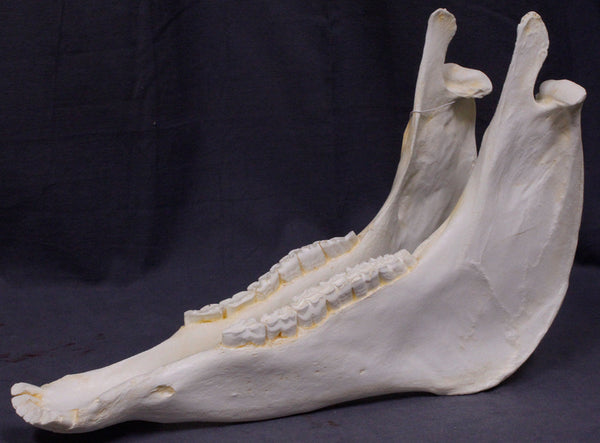 Horse Skull Replica - Jaw Only