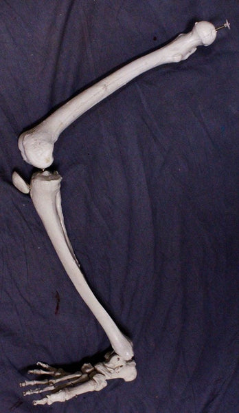 Full Skeletal Leg