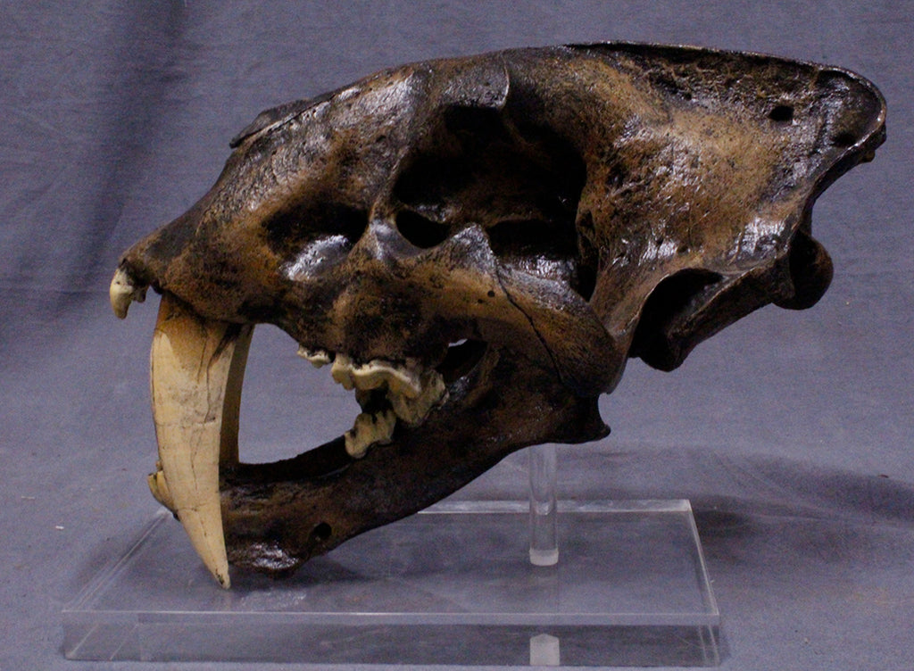 Sabertooth Cat Skull Rental