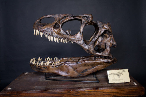 Allosaurus Skull Replica Rental