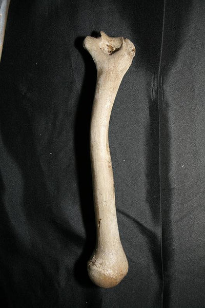Arm Bone - Humerus Replica