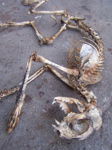 Natural Cat Skeleton