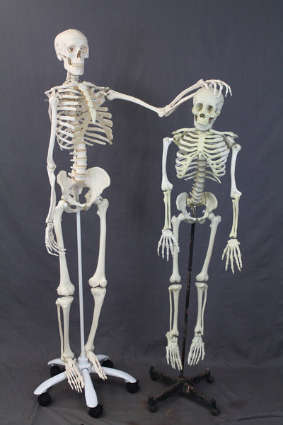 prop skeletons, skull replicas & bones for halloween & productions, Skeleton