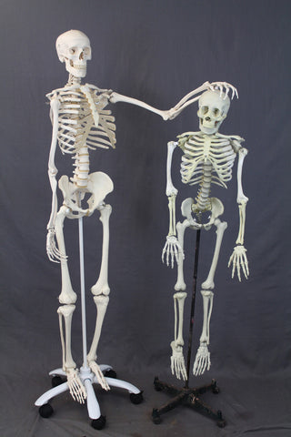 Medical Child Size Skeleton