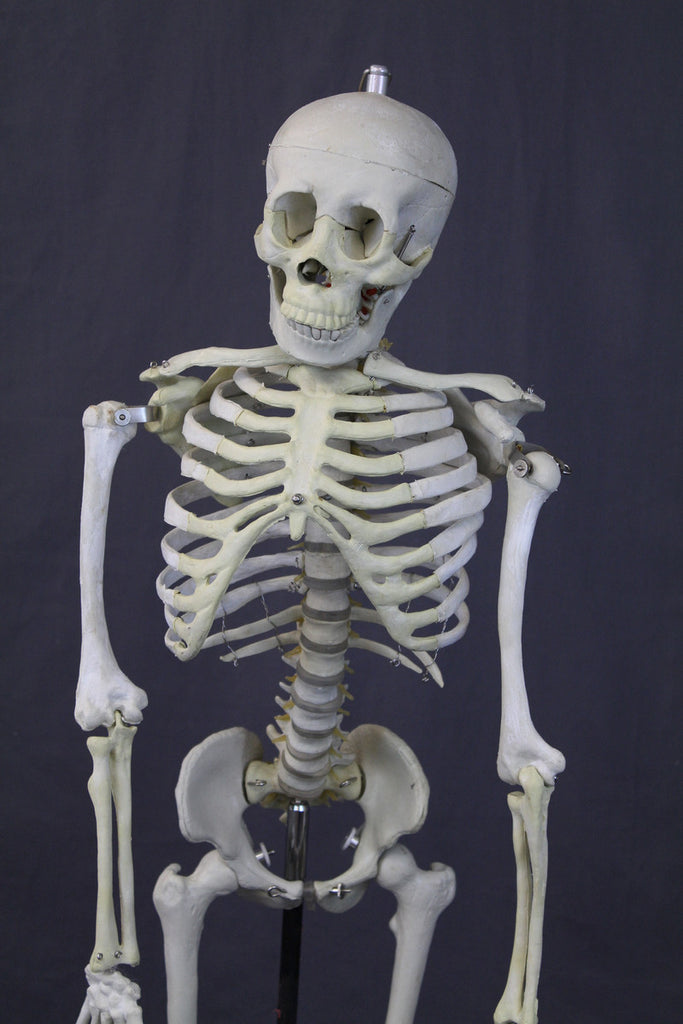 Medical Child Size Skeleton Rental