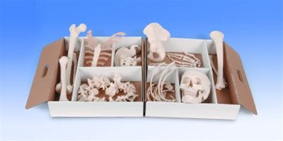 Medical Disarticulated Skeleton