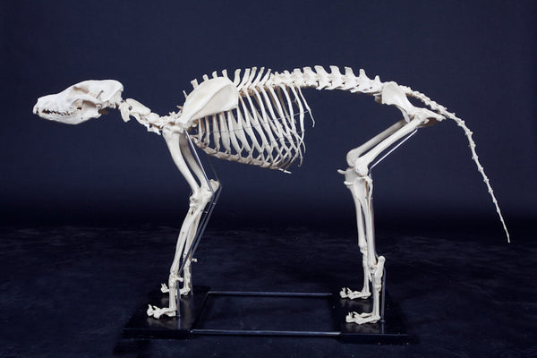 Large Dog Skeleton