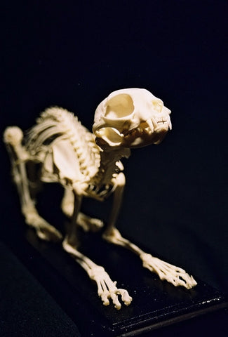 Real Bone Cat Skeleton