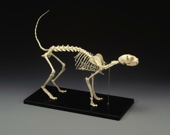 Replica Cat Skeleton